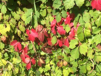 画家のアトリエに伸びる蔦も紅く…