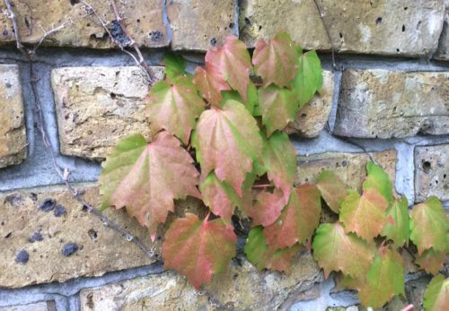 アトリエのレンガに伸びる蔦も秋色に…